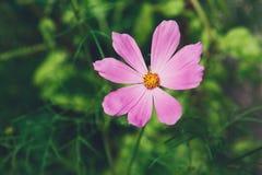 Flor del rosa del aster o cosmos mexicana del jardín, primer al aire libre Imagen de archivo