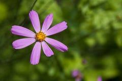 Flor del rosa del aster o cosmos mexicana del jardín, primer al aire libre Fotografía de archivo libre de regalías