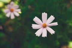Flor del rosa del aster o cosmos mexicana del jardín, primer al aire libre Fotos de archivo libres de regalías