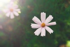 Flor del rosa del aster o cosmos mexicana del jardín, primer al aire libre Foto de archivo