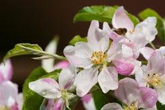 Flor del rosa del manzano después de la lluvia con la abeja - estación de primavera Foto de archivo