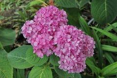 Flor del Rubiaceae Foto de archivo