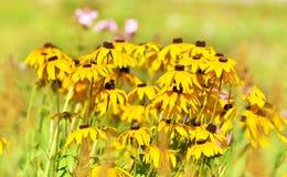Flor del Rudbeckia en jardín Fotos de archivo