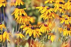 Flor del Rudbeckia en jardín Foto de archivo libre de regalías