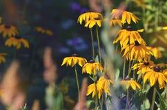 Flor del Rudbeckia en jardín Fotografía de archivo libre de regalías