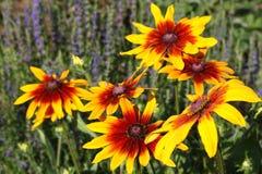 Flor del Rudbeckia (flor de Susan Black-eyed) foto de archivo