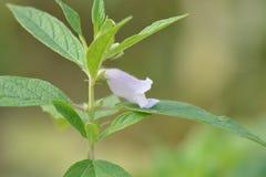 Flor del sésamo con las hojas verdes Imagen de archivo libre de regalías