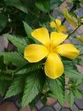 Flor del sabio de la rosa del amarillo Fotos de archivo libres de regalías
