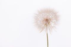 Flor del salsifí Fotos de archivo