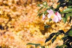 Flor del sasanqua de la camelia Fotos de archivo