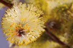 Flor del sauce Imagen de archivo