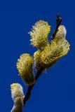 Flor del sauce Imagen de archivo libre de regalías