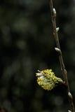 Flor del sauce Foto de archivo libre de regalías