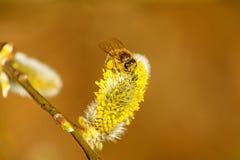 Flor del sauce con la abeja Imágenes de archivo libres de regalías