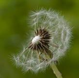 Flor del seedhead del diente de león del Taraxacum del mechón en foco imagen de archivo libre de regalías