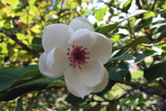 Flor del sieboldii de la magnolia Fotos de archivo libres de regalías