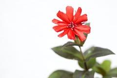 Flor del sieboldii de Lychnis Fotografía de archivo