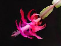 Flor del sitio el decembrista Fotografía de archivo