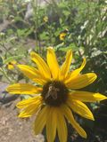 Flor del sol del primer con el vuelo de la abeja adentro Imagenes de archivo