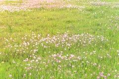 Flor del speciosa de Texas Pink Primrose Oenothera Fotografía de archivo libre de regalías