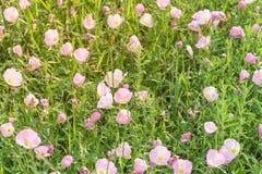 Flor del speciosa de Texas Pink Primrose Oenothera Fotos de archivo libres de regalías