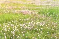 Flor del speciosa de Texas Pink Primrose Oenothera Imágenes de archivo libres de regalías