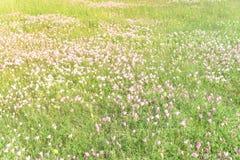 Flor del speciosa de Texas Pink Primrose Oenothera Imagen de archivo
