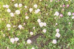 Flor del speciosa de Texas Pink Primrose Oenothera Imagen de archivo libre de regalías