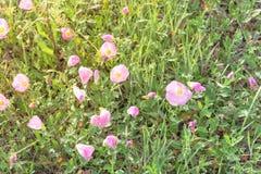 Flor del speciosa de Texas Pink Primrose Oenothera Fotografía de archivo