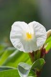 Flor del speciosus de Costus Imágenes de archivo libres de regalías