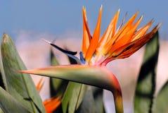 Flor del Strelitzia Fotografía de archivo libre de regalías
