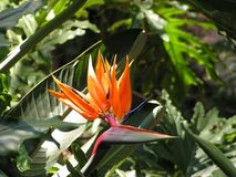Flor del Strelitzia fotos de archivo libres de regalías