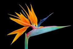 Flor del Strelitzia Imagen de archivo