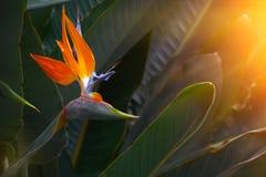 Flor del strelitzia de Beautifiul en el jardín botánico en Europa fotografía de archivo