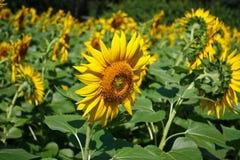 Flor del Sun, Helianthus fotos de archivo libres de regalías