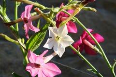 Flor del tabaco Imagen de archivo libre de regalías