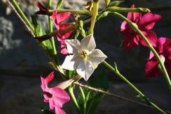 Flor del tabaco Fotografía de archivo