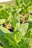 Flor del tabaco en la plantación en sumer imagen de archivo libre de regalías