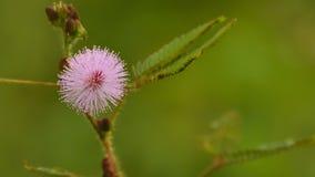 Flor del Tacto-yo-no rosa de la planta imagenes de archivo