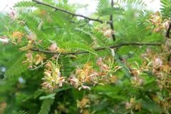 flor del tamarindo Fotos de archivo libres de regalías