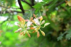 flor del tamarindo Imagenes de archivo