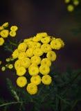 Flor del Tansy Imagenes de archivo