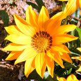 Flor 2011 del teléfono Aviv Gold Gazania Foto de archivo