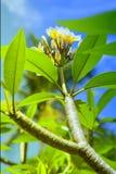 Flor del templo Fotos de archivo