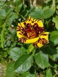 Flor del tigre Fotografía de archivo libre de regalías