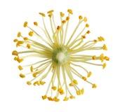 Flor del tilo Fotografía de archivo