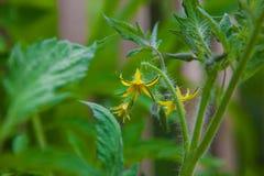 Flor del tomate Fotografía de archivo