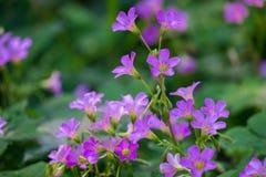 flor del trébol de la Tres-hoja imagen de archivo libre de regalías