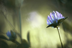 Flor del trébol púrpura Fotos de archivo