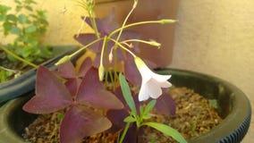 Flor del trébol púrpura Fotografía de archivo libre de regalías